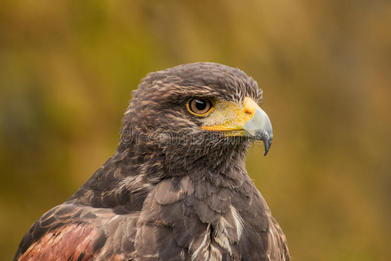 Eagle photographie stock libre de droits
