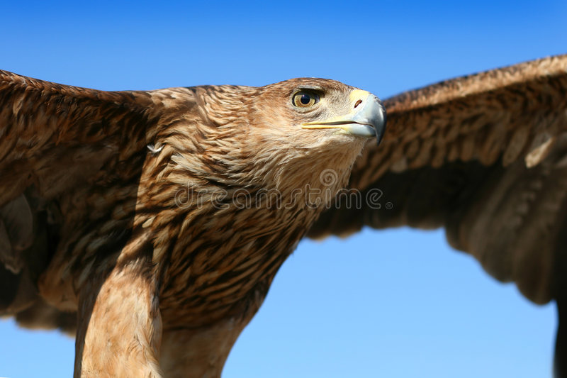 Eagle. Beautiful eagle in the blue sky royalty free stock image