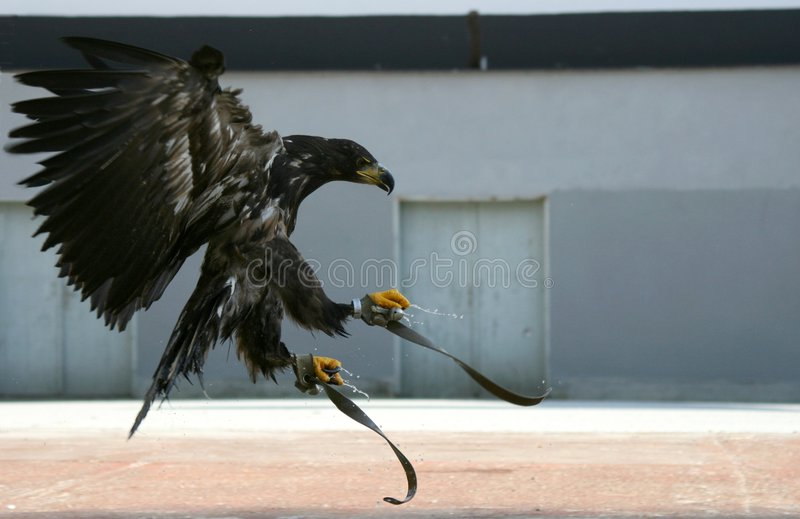 Download Eagle 86 Royalty Free Stock Images - Image: 3556959