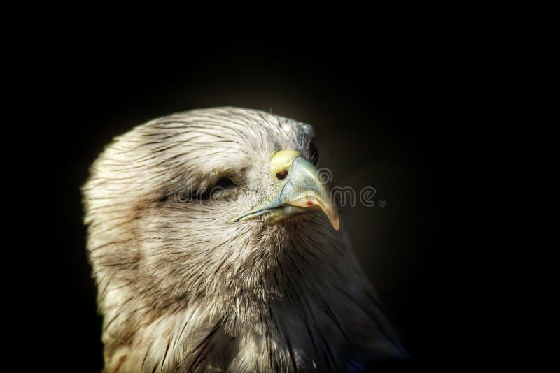 Eagle royalty-vrije stock fotografie