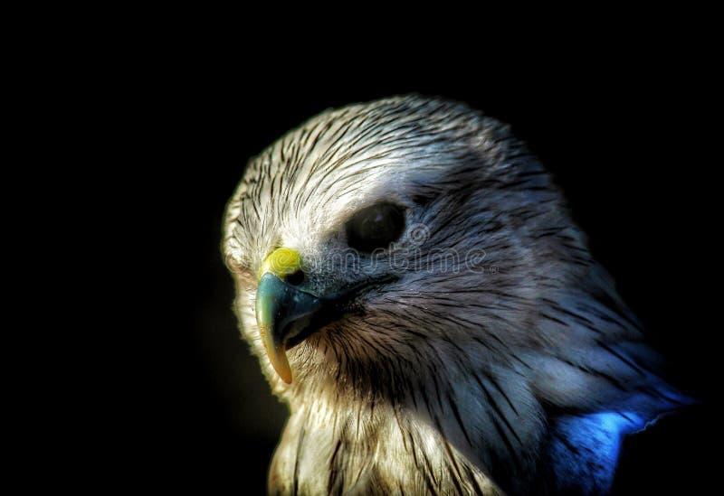 Eagle royalty-vrije stock foto's
