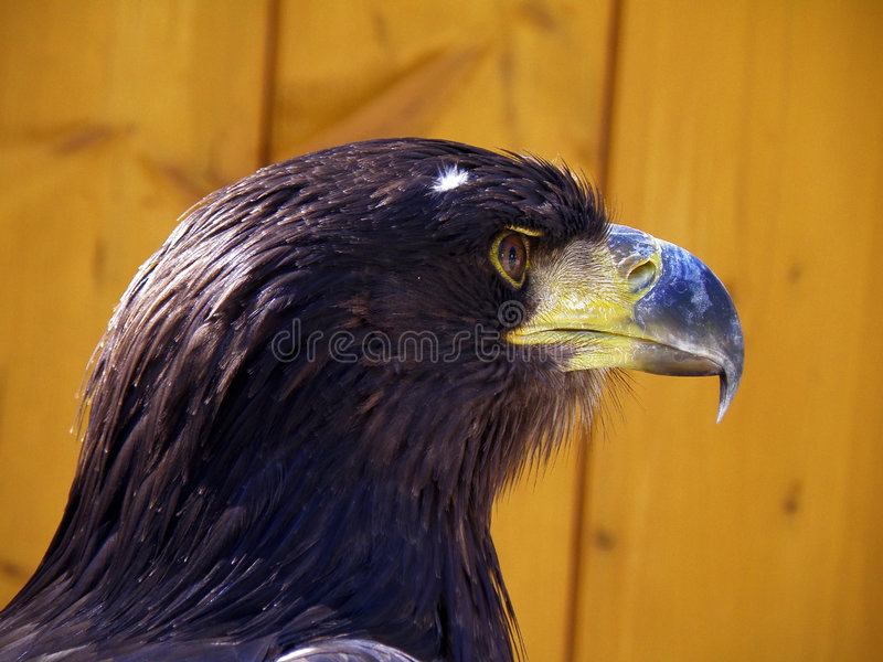 Eagle. Nice detail of a eagle stock images