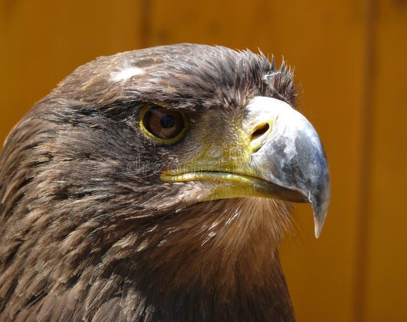 Eagle. Portrait of eagle from Zoo jihlava in Czech republic (Haliaeetus albicilla stock image