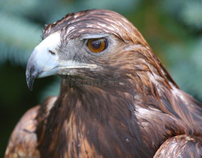 Download Eagle stock image. Image of ornithology, strength, power - 9866839
