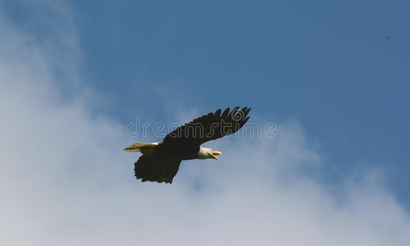 Eagle Aerial Vista calvo imagens de stock royalty free