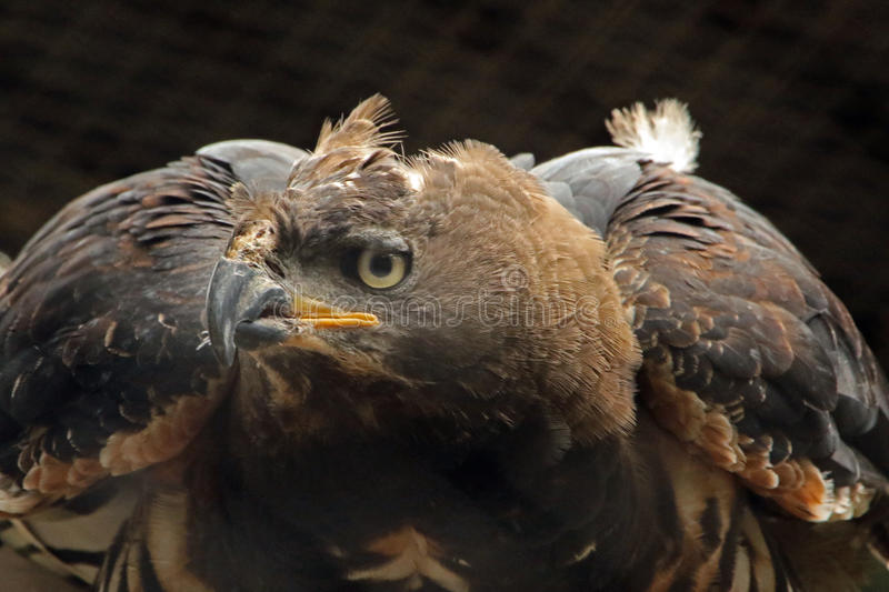 Eagle. African Crowned Eagle Close Up royalty free stock photo