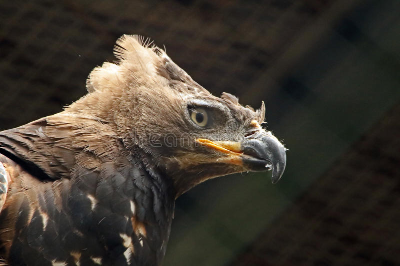 Eagle. African Crowned Eagle Close Up stock photography