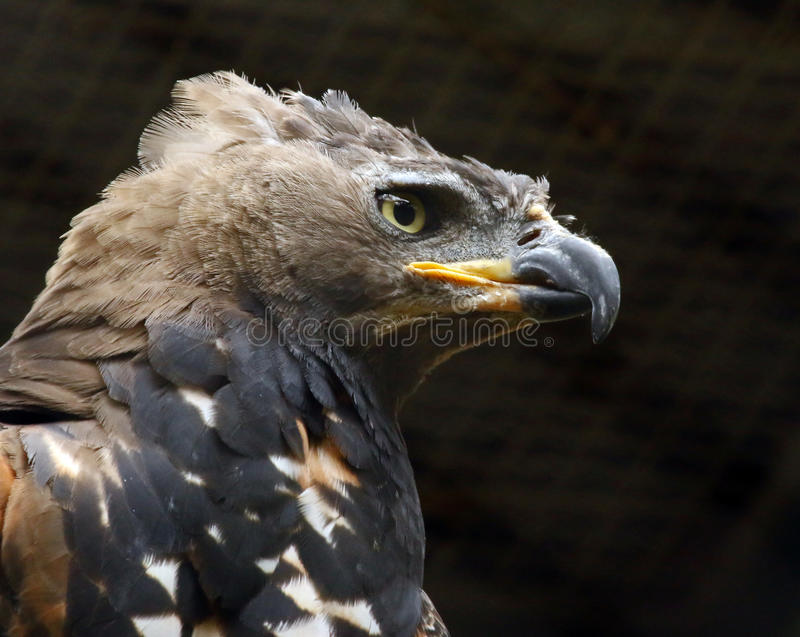 Eagle. African Crowned Eagle Close Up stock images