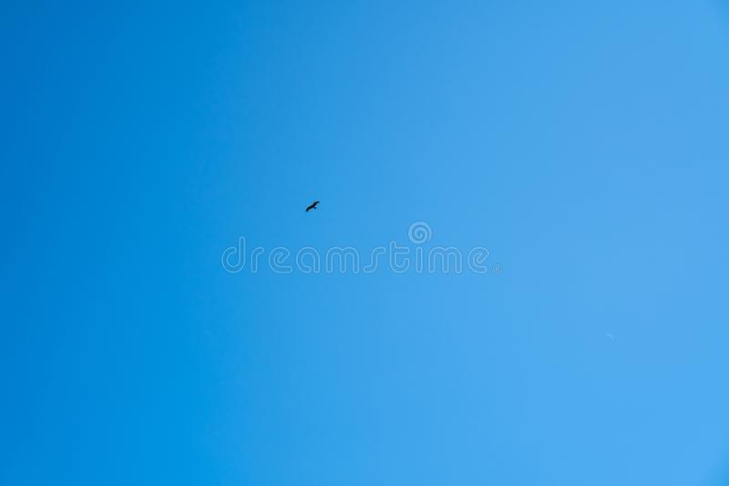 An eagle against a clear blue sky from underneath. Falcon fly in the blue sky royalty free stock photography