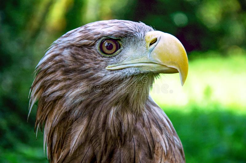 Eagle - albicilla do Haliaeetus fotos de stock