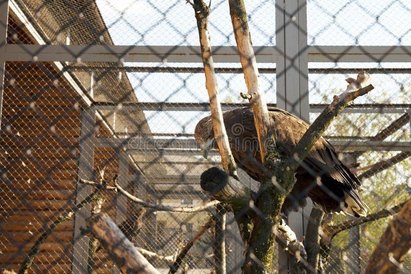 Eagle allo zoo fotografia stock