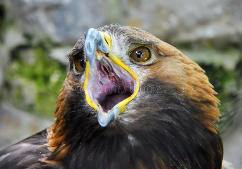 Eagle apre il suo becco immagine stock libera da diritti