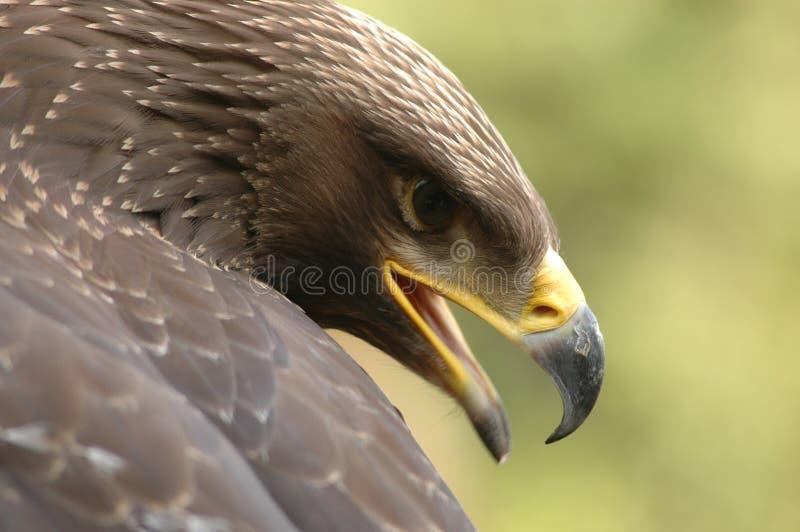 Eagle (Aquila chrysaetos) stock photos