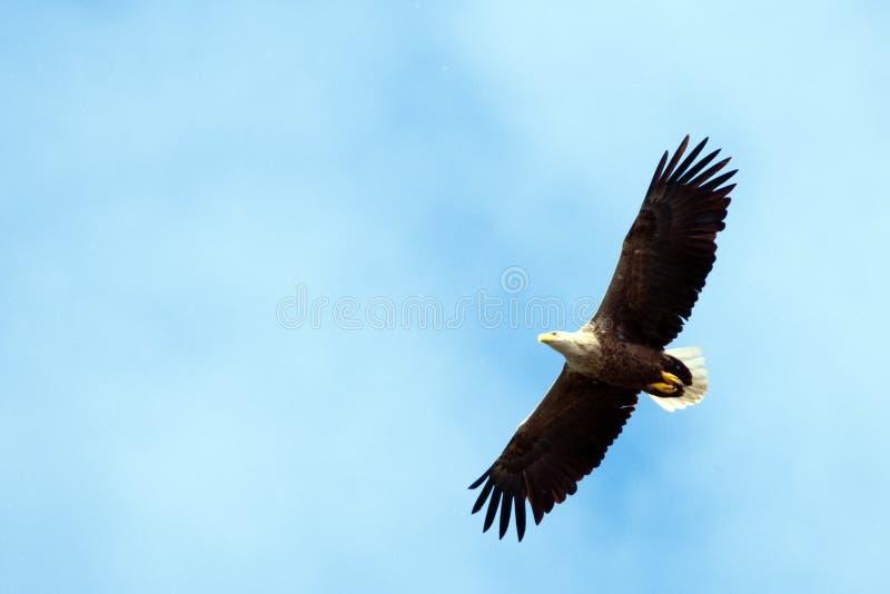 Eagle atado branco foto de stock