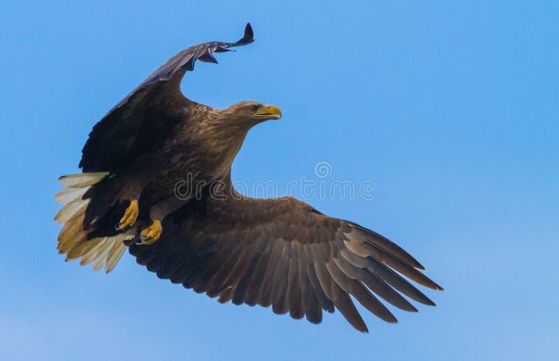 Eagle atado branco fotografia de stock royalty free