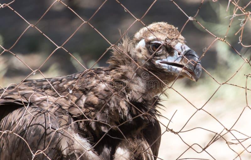 Eagle atrás de uma cerca no jardim zoológico fotografia de stock