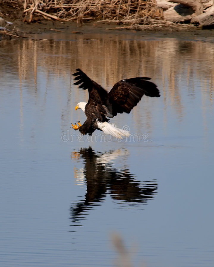 Eagle attack royalty free stock image