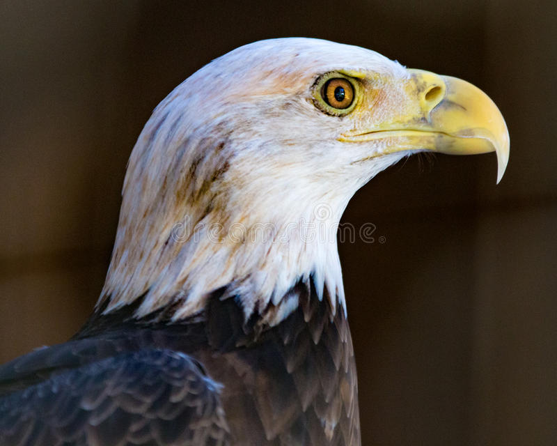Eagle at Attention. Bald Eagle portrait from left stock photo
