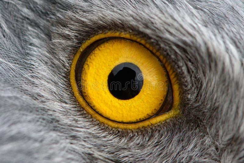 Eagle-Augennahaufnahme, Makrofoto, Auge des männlichen Nordgeländeläufers lizenzfreie stockfotos