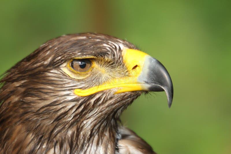 Eagle avec le bec jaune et accroché l'oeil attentif images stock