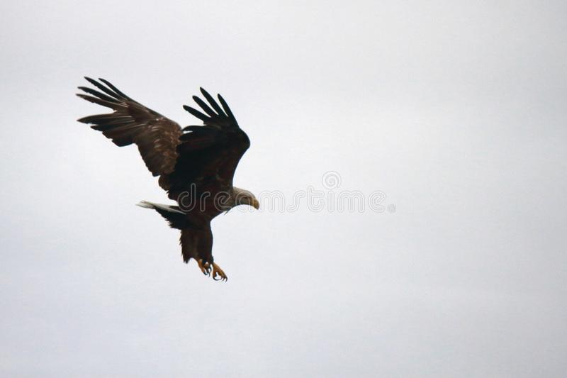 Eagle avoiding a collision when diving. Sea eagle badly diving Lofoten islands, arctic archipelago situated in northern Norway stock photo