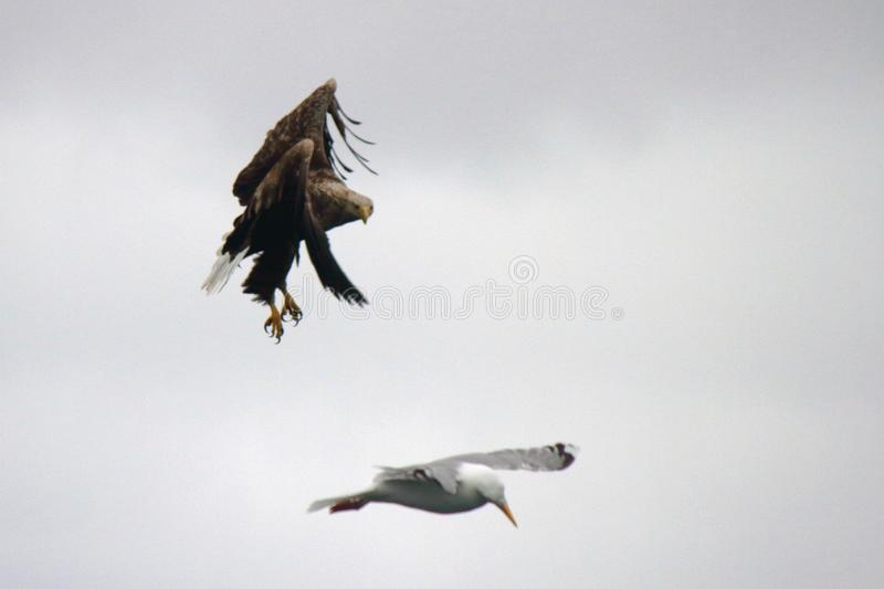 Eagle avoiding a collision with a Seagull. Sea eagle avoiding a collision with a Seagull, Lofoten islands, arctic archipelago situated in northern Norway stock photos