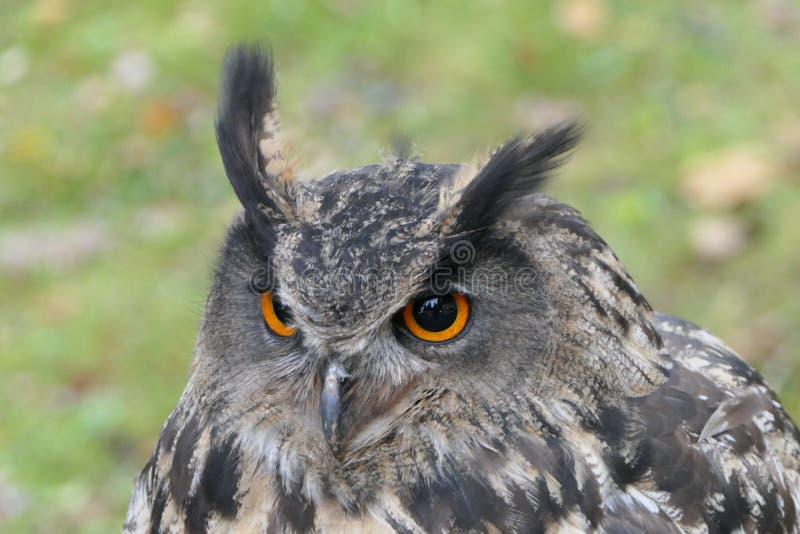 Eagle - búho imágenes de archivo libres de regalías