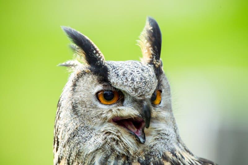 Eagle-búho fotos de archivo libres de regalías