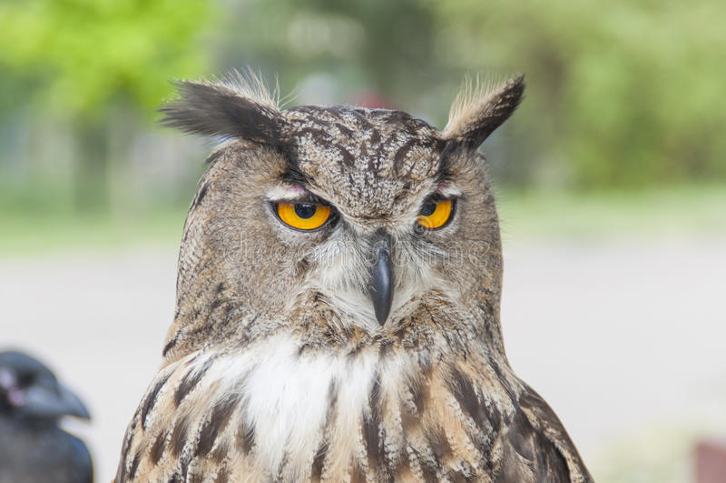 Eagle-búho fotos de archivo