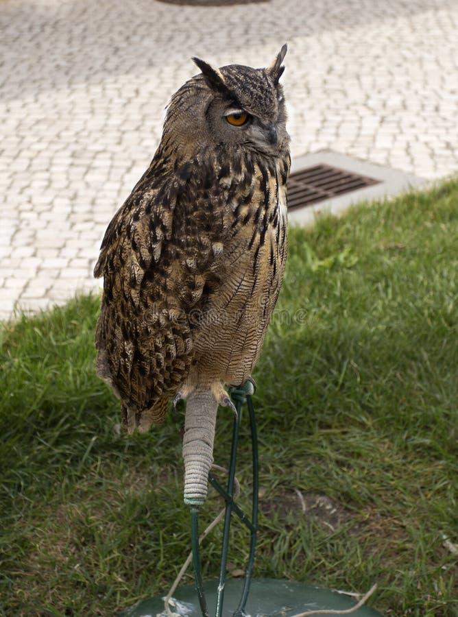 Eagle-búho de la cetrería fotos de archivo