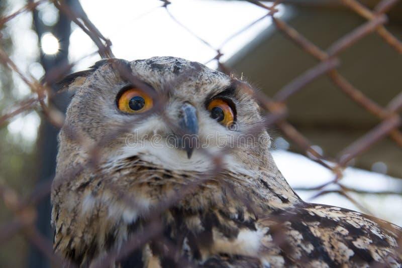 Eagle-búho obstruido en el parque zoológico Foco selectivo foto de archivo