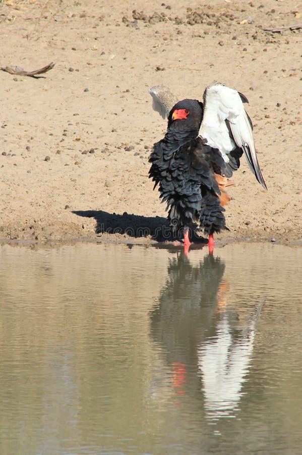 Eagle, Bateleur - rapaz salvaje africano - que presenta con las alas perfectas foto de archivo