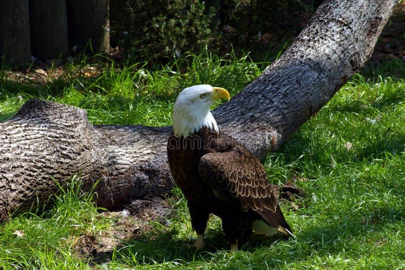 Eagle beklimt stock afbeeldingen