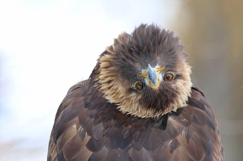 Eagle Bending Over Backwards dourado foto de stock royalty free