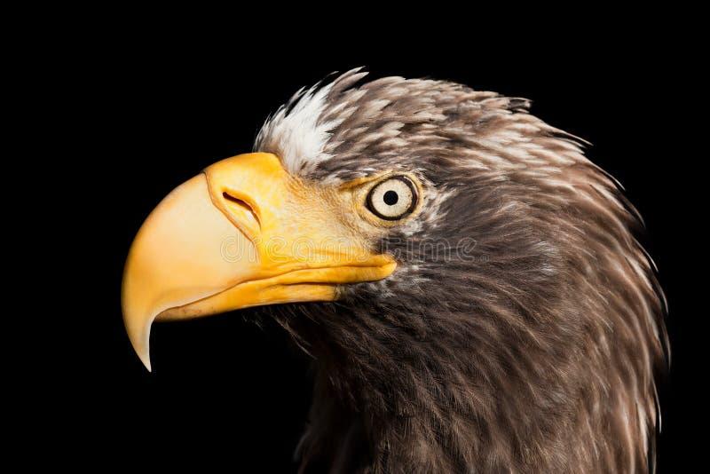 Eagle bird. Wildlife animal nature flying prey bird bald eagle stock photo