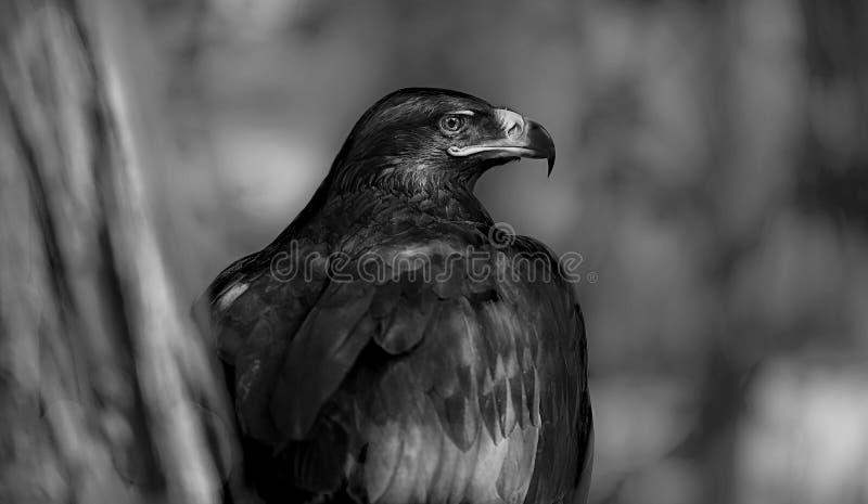 Download Eagle stock photo. Image of tree, falcon, beak, white - 32851724