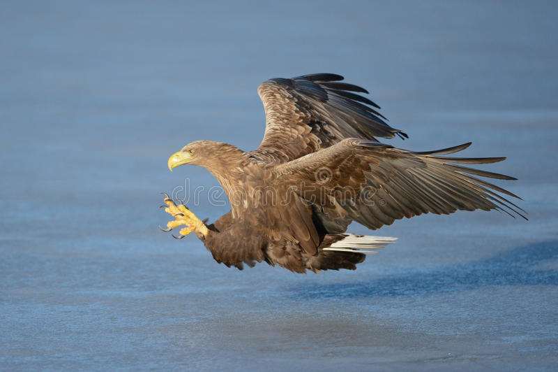 Eagle Blanc-coupé la queue image stock