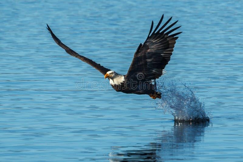 Eagle-Blattspritzen nach Fischzupacken stockbild