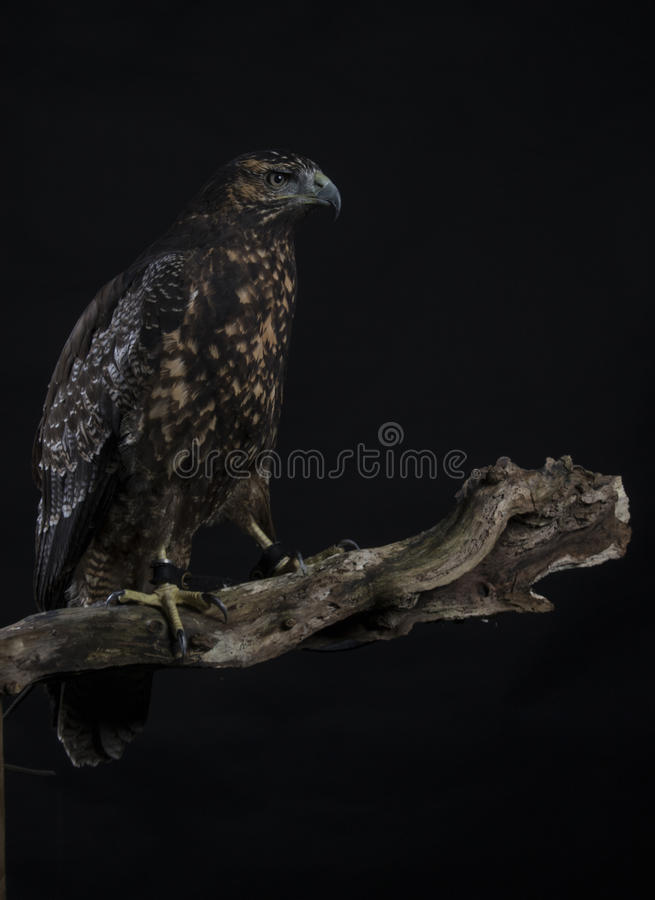 Eagle bleu chilien image stock