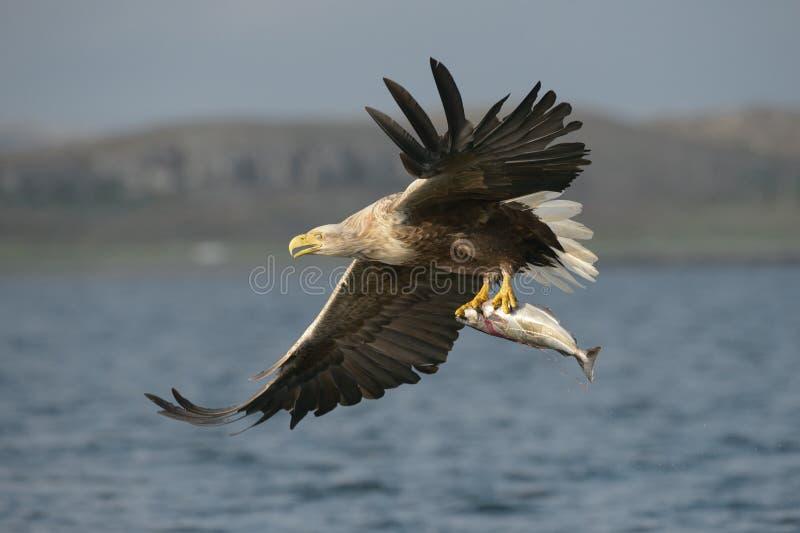 Eagle Branco-atado com captura foto de stock royalty free