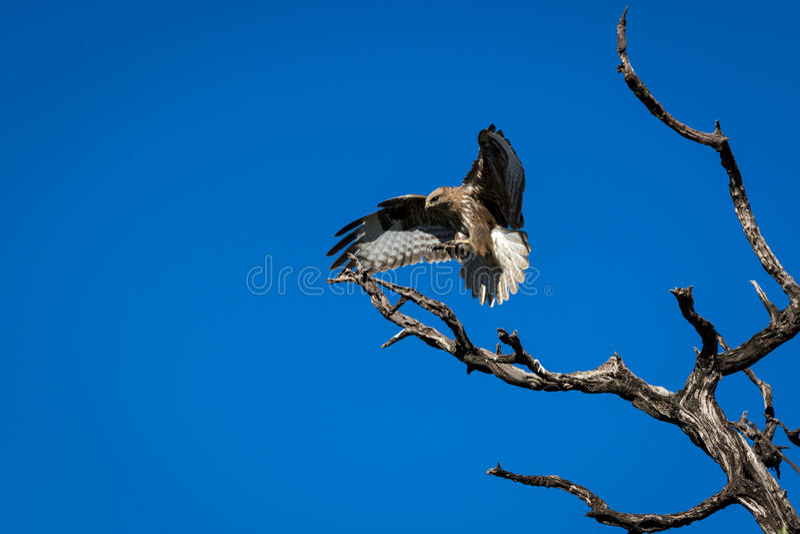 Eagle (busardo) foto de stock royalty free