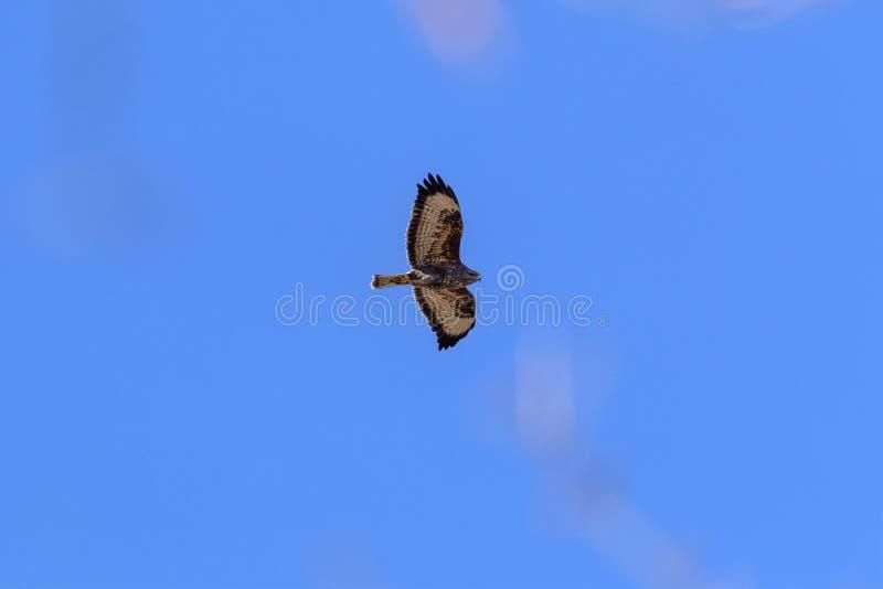Eagle Buzzard imagem de stock royalty free