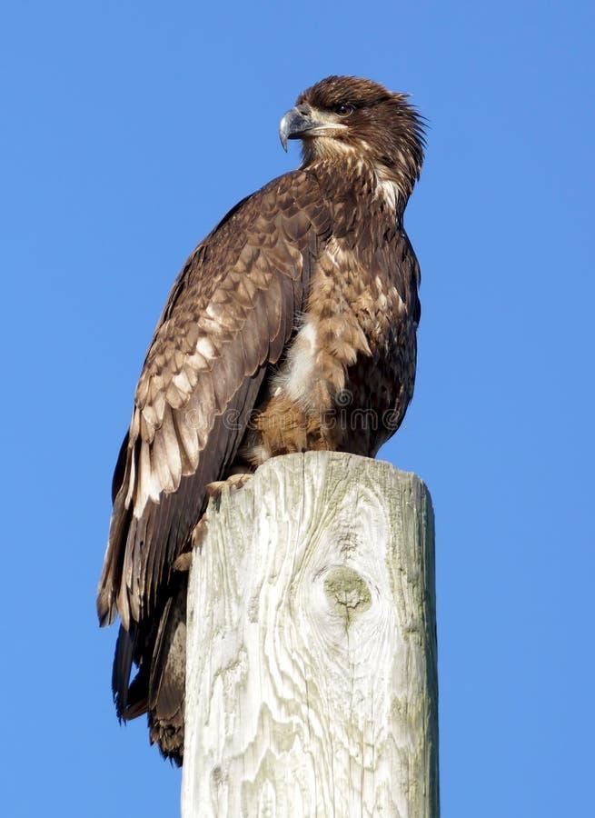 Eagle calvo acerbo immagini stock libere da diritti