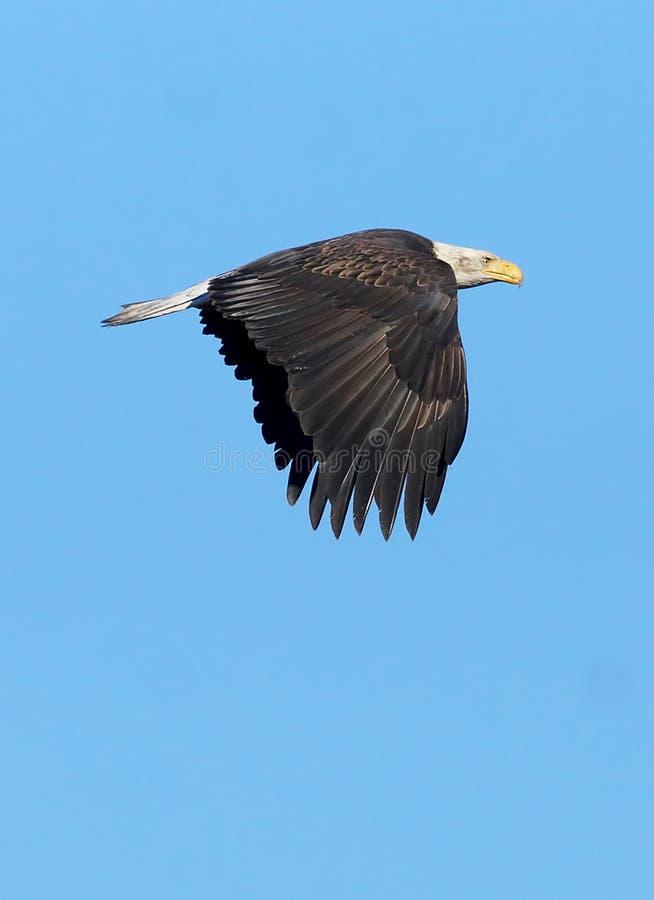 Eagle calvo acerbo - leucocephalus del Haliaeetus fotografie stock