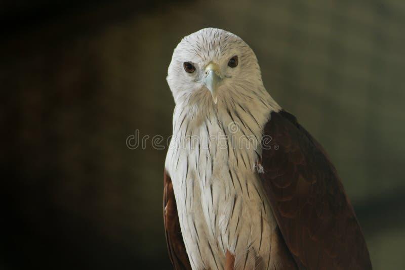 Eagle calvo al parco del COV fotografia stock libera da diritti
