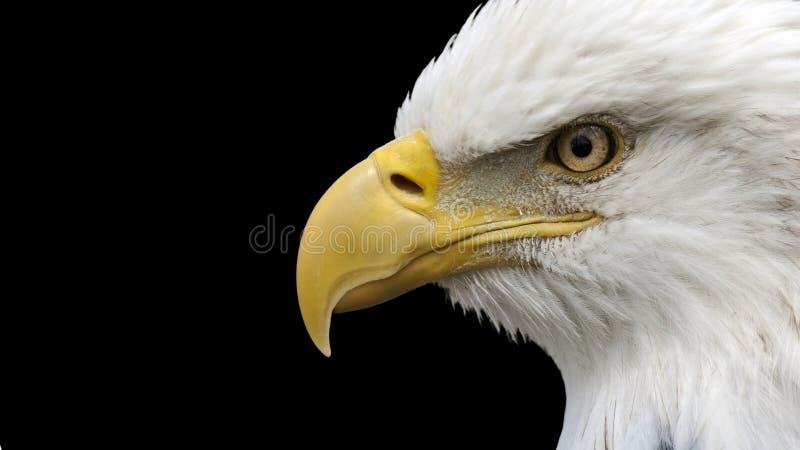 Eagle calvo americano imagen de archivo libre de regalías