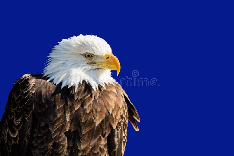 Eagle calvo americano fotografia stock libera da diritti