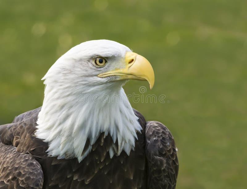 Eagle calvo americano immagine stock libera da diritti