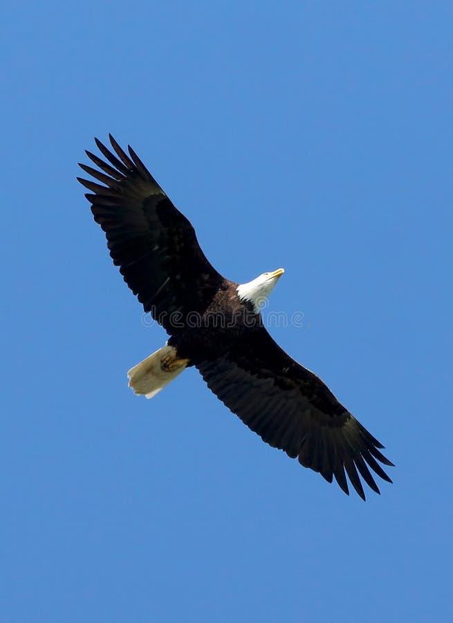 Eagle calvo americano - leucocephalus del Haliaeetus immagine stock libera da diritti