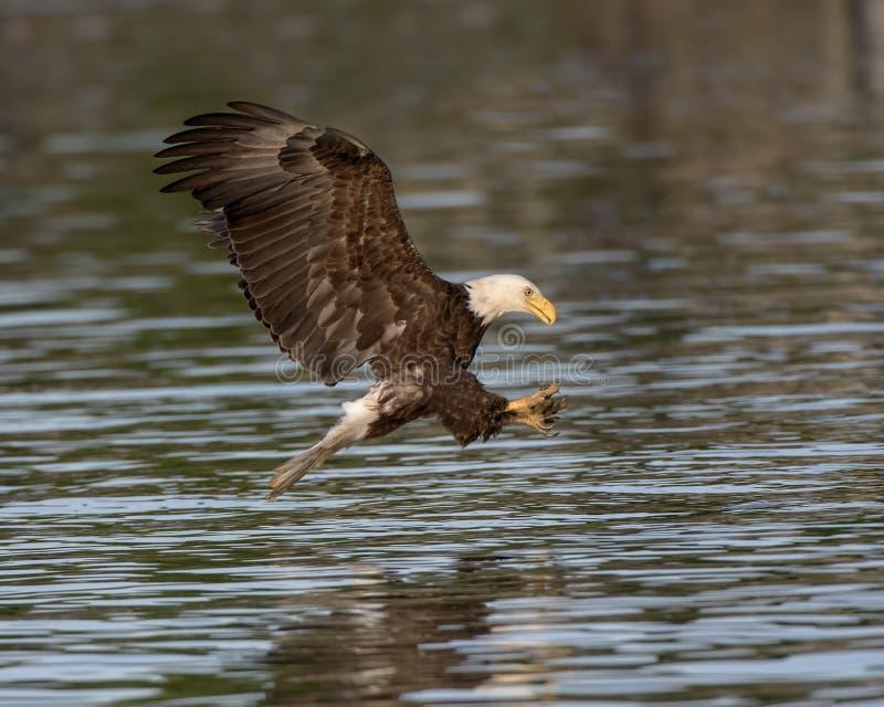 Eagle calvo che prepara afferrare un pesce fotografie stock libere da diritti